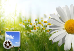 field of daisies with a video icon on it